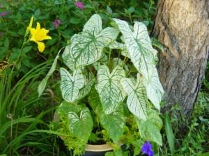 green caladiums