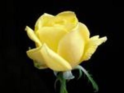 yellow rose sm