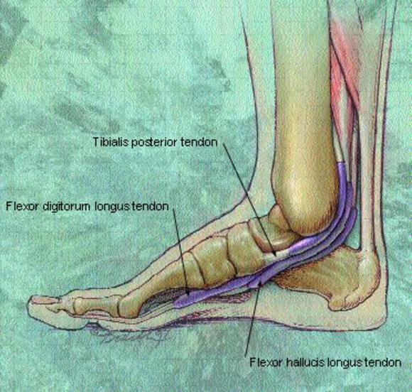 foot tendons
